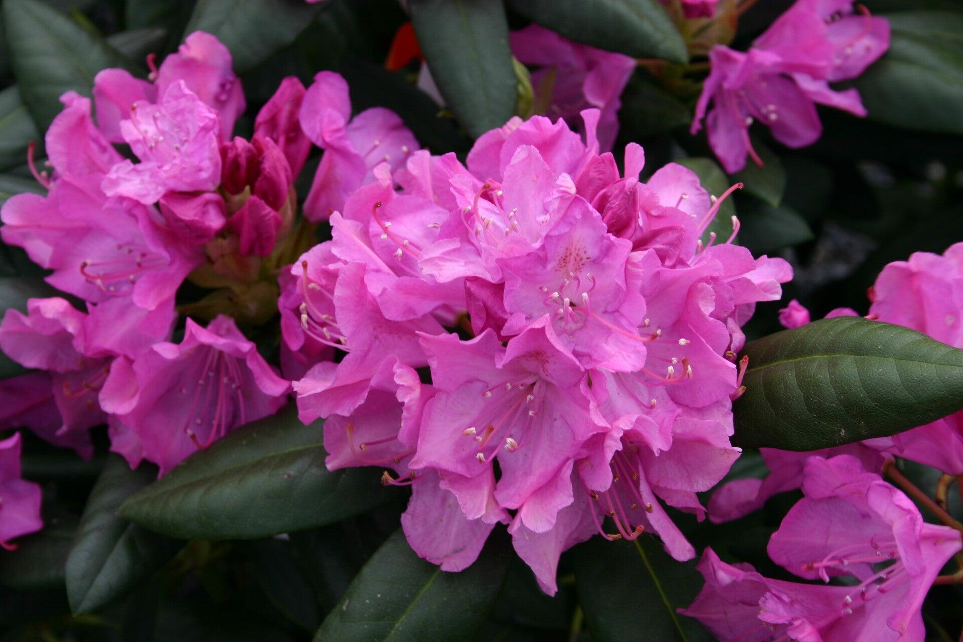 https://f.jwwb.nl/public/i/r/m/temp-fidtqrdxrremhohxocfm/moy3r4/Rhododendron_roseum_elegans_8501.jpg