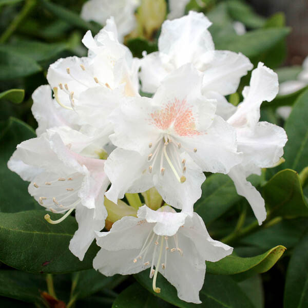 https://f.jwwb.nl/public/i/r/m/temp-fidtqrdxrremhohxocfm/tjt8va/10967-rhododendron-cunninghams-white-mainim-5.jpg