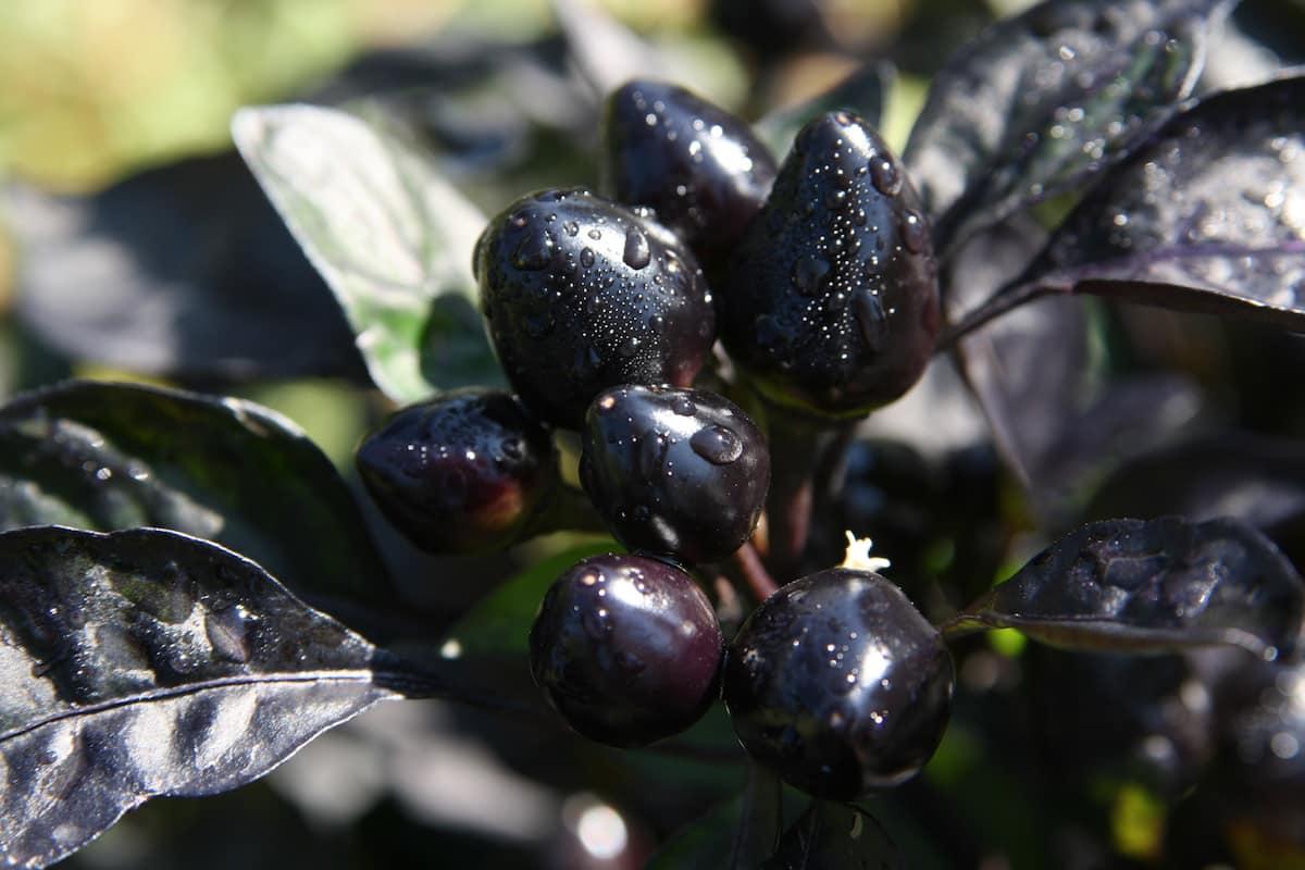 https://www.pepperscale.com/wp-content/uploads/2014/10/black-pearl-pepper-1.jpg