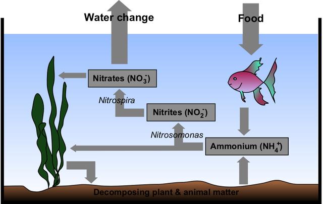 https://upload.wikimedia.org/wikipedia/commons/thumb/e/e9/Aquarium_Nitrogen_Cycle.png/640px-Aquarium_Nitrogen_Cycle.png