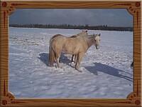 Twee gepensioneerde Palomino's in de sneeuw