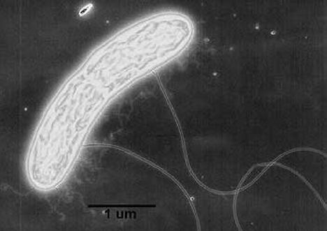 Geobacter bacterie