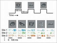 Reactie van verschillende neuronen van de inferotemporal (IT) cortex op verschillende objecten