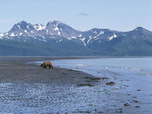 Grizzly in Amerikaans landschap