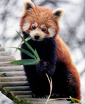 Een Firefox (Ailurus Fulgens) eet een blaadje rIEt