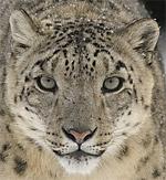 Snow Leopard animal