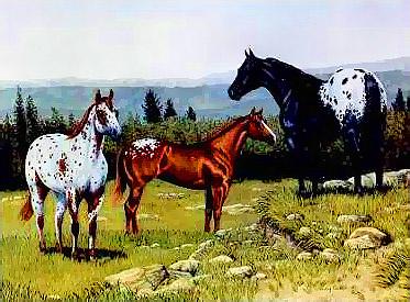 Drie verdwaalde Appaloosa paardo's