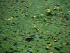 Waterlelies;Nikon AF-S DX 55-200mm f/4-5.6G ED VR op D40; 105 mm; f/4,8; 1/80; ISO-200; 0-stap;VR?