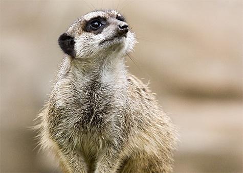 Meerkat / Stokstaartje