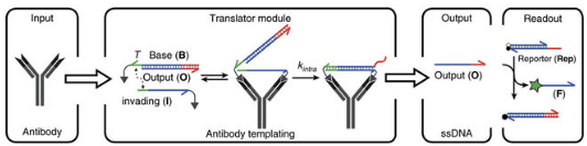 Antibody-templated strand exchange allows translation from antibody to DNA.