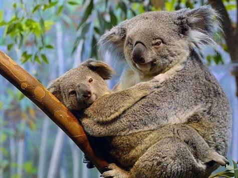 Karmic Koala