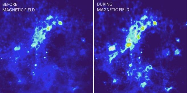 warmtestimulatie muizen brein hersens