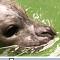 -zeehond